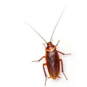 American Cockroach Las Vegas