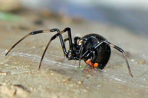 Spider Control Las Vegas