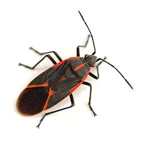 Las Vegas Boxelder Beetle Control