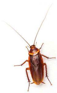 Las Vegas Cockroach Control