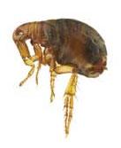 Fleas Control Las Vegas