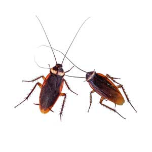 German Cockroach Control Las Vegas