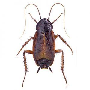 Oriental Cockroach Control Las Vegas